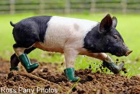 Pig Poop – Pure Purpose 556a7349fcb6