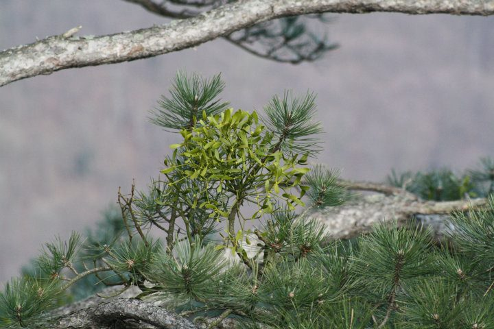 mistletoe the curious parasite essay Mistletoe hunting, with a 12-gauge shotgun it is a hemi-parasite it was curious to me that such a romantic plant required such a violent harvest.