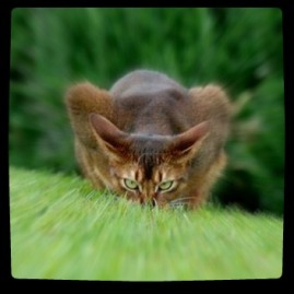 Cat_Ready_To_Pounce